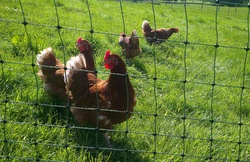 MFB5LLGT-PN. **Clearance Poultry Netting - Green 50m X 1.2m With Thick Double Pronged Posts**